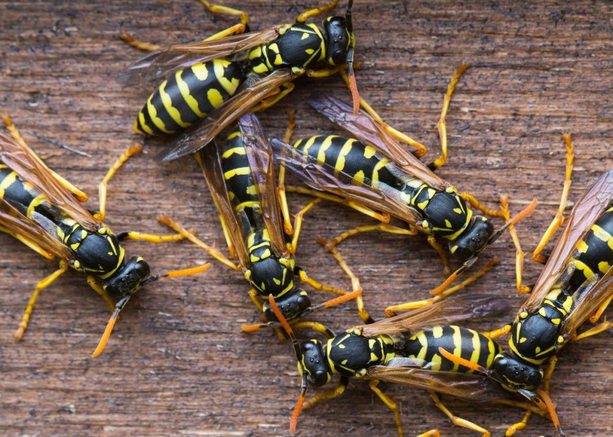 Gemene wespennest verwijderen in Bergen op Zoom